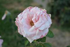 Crispy pink rose (Tjs photography909) Tags: pink flower rose crispy d3300 1855nikonafs