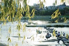 Verdancy ( aikawake) Tags: trip travel sunset tree green nature beautiful sunshine wonderful river fun spring scenery kyoto tour atmosphere sunny willow   mayday   ricohgr kamogawa sunnyday    verdancy