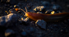 Off into the sunset (gina.nicole.tesloff) Tags: slug grey orange woodland wildlife walking slime england enchanting eye evening rock antenna red rocks travel tiny texture underfoot uk insect outdoors pattern brown animal afternoon artistic summer sun detail delicate shadow depth slow speedy light canon contrast colour colourful color cute creature cheeky countryside clever camouflage beautiful bright beauty nature natural night macro