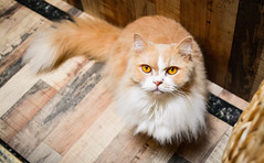 Yellow Dimension (BHiveAsia) Tags: cat cats kitten kitty feline felines wild wildlife life nature animal animals portrait pet pets cute