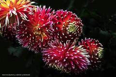 FEUERWERK (Erwin Lorenzen) Tags: dahlia flowers color nature colors canon natur blume feuerwerk dahlie dahlien canoneos5dmarkii