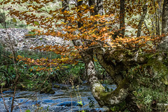 Corriente del Porma (cmarga28) Tags: bosque rio humedad otoo hojas amarillo verde arboles belleza misterio sonido hayas monte naturaleza escapada paseo photography len spain espaa picosdeeuropa tranquilidad nikon digital raw d750 travel photos