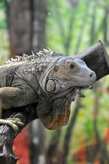 Reptile (studiofava) Tags: reptile nikkor rettile