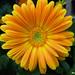 Sunshine+flower+-+Fleur+de+soleil