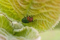 Zierlicher Prachtkfer Weibchen (planetvielfalt) Tags: deutschland coleoptera sachsenanhalt buprestidae polyphaga elateriformia beifreyburg