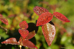 Morning after rain (Brazilian cherry leaves) (Tatters ✾) Tags: red home water leaves rain droplets australia mygarden waterdroplets eugenia myrtaceae eugeniauniflora