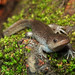 Mole Salamander, Male