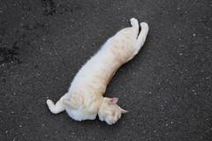 IMG_0137 Cream tabby Japanese cat  (SORO 556 by ENJOY DESIGN) Tags: animal cat canon japanese tabby cream     eos6d