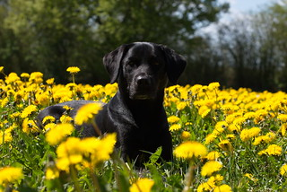Buddy in yellow field of flowers