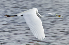 Great Egret in Flight (Explored 1 Jun 15 #167) (Mike Matney Photography) Tags: bird nature water birds canon illinois midwest wildlife may horseshoelake topaz 2015 eos7d topazsimplify