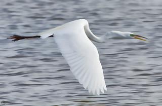 Great Egret in Flight (Explored 1 Jun 15 #167)