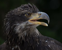 Bald Eagle (juvenile - incaptivity)-0872 (DavidGuscottPhotography) Tags: raptor