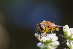 Bichos (152)-A (Jos Mara Gil Puchol) Tags: nature insecte syrphe invertbr photomacro photographiemacro naturebretagne josmariagilpucholphotographe