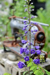 Mom's flower (Danny W. Mansmith) Tags: memories delphinium mothersday remembering
