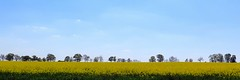 A world in blue and yellow (langkawi) Tags: field yellow jaune germany spring feld gelb mustard raps brandenburg cultivation canola rapeseed