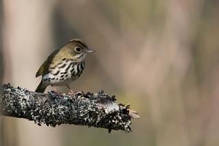Paruline couronnée / Ovenbird