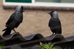 2 kraaien op een dak (w.vandervet) Tags: roof two black pair crow crows