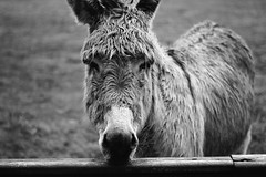 BWJPG---IMG_5402 (r4ytr4ce) Tags: ireland blackandwhite mountain landscape 50mm donkeys donkey eire donegal ire dnliche trchonnaill