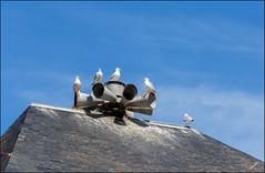 Point de vue de la sirne ... (GK Sens-Yonne) Tags: normandie toit ardoise oiseau tretat alarme goland seinemaritime sirne alerte