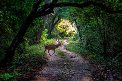 Spotted-Buck (Maddog Murph) Tags: road morning travel nepal light green nature dawn crossing wildlife tunnel deer jungle spotted buck antler bardia