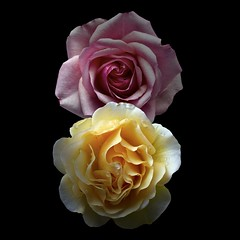 Roses P&Y (Pixel Fusion) Tags: flower macro nature rose flora nikon d600