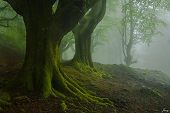 Forest guards (Javy Njera) Tags: trees naturaleza mist tree verde green nature mystery forest rboles natural cuento fairy rbol there monte niebla tale orozco hadas misterio hayas lans gorbeia hayedo belaustegui