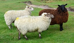 My Next Pullover (hapsnaps) Tags: brown wool animal spring knitting sheep peakdistrict cream superfurryanimals pullover piedpiper mountfamine 2016 woolcoats hapsnaps