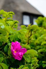 rosa canina (mind_surfer) Tags: pink house plant green nature rose coast natur pflanze haus northsea grn thatchedroof sylt nordsee schleswigholstein kste reetdach hundsrose reetdachhaus