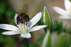 busy bee (Knarfs1) Tags: white flower nature fleur garden insect outdoor jardin bee blume makro pure blte insekt garten biene marcro