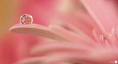 Fragile dreams (Trayc99) Tags: pink flower macro reflection beautiful closeup droplets petals drops softness dreams beautyinnature beautyinmacro