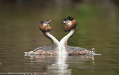 Great Crested Grebe Courtship (Alastair Marsh Photography) Tags: lake bird water birds animal animals wildlife yorkshire feathers feather waterbird britishwildlife grebe courtship greatcrestedgrebe grebes britishbirds courtshipdisplay britishbird greatcrestedgrebes britishanimals yorkshirewildlife britishanimal greatcrestedgrebecourtship grebecourtship greatcrestedgrebecourtshipdisplay