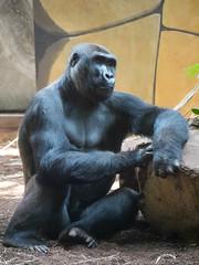 Western gorilla (dynode.nl) Tags: ouwehandsdierenpark rhenen zoo animals wild ape gorilla greatape primate