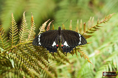 _MG_4898.jpg (www.eidernet.com/eiderphoto) Tags: butterfly australia nsw ef100macro eos50d