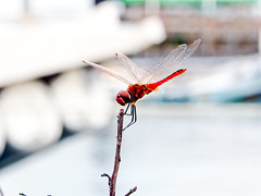 P5220035 (touchinming) Tags: red insect dragonfly whitebackground omdem5 olympus1250mm