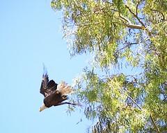 "Baby Bald Eagles ""eaglets"" week 13   22 (Gritsgal Photo's) Tags: bald eagles baldeagles"