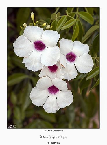 Flor de la Enredadera