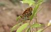 161. The Indian Fritillary Butterfly (Argynnis hyperbius), Near Gosalithan, Nepal (Jay Ramji's Travels) Tags: nepal lepidoptera nymphalidae argynnis brushfootedbutterfly argynnishyperbius gosalithan theindianfritillarybutterfly
