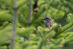 White-throated Sparrow-16-5 (Ian L Winter) Tags: nature birds newfoundland stjohns whitethroatedsparrow goulds bidgoodpark