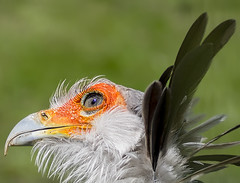 Miss Moneypenny (ORIONSM) Tags: secretary bird prey raptor portrait eye plume feathers beak olympus omdm10