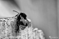 Flgel (Silbersurfer) Tags: blackwhite bokeh dof fujixe2 fujinonxf60mmf24rmacro insekten licht lightroom macro makro nahaufnahme natur schatten silverefexpro2 tiefenschrfe tierwelt schwarzweiss