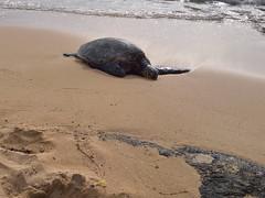 68-June 28 2016-North Shore-Oahu HI-sea turtle (Barb Mayer) Tags: beach oahu northshore hawaii seaturtle