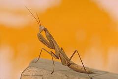 Pose au soleil ! (Hélène Quintaine) Tags: mantereligieuse faune prédateur mantis créature chasseur diurne tigredelherhe pose bois