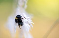 18072016-_DSC1481 (Hexilene) Tags: macro macrodreams macrodream lumire sigma insecte nikon nikonpassion nikond750 light nature passion color couleurs blueribbon bokey