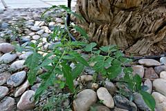 Tomato plant growing as weed (tinlight7) Tags: difc20160315 tomato plant dubai uae taxonomy:kingdom=plantae plantae taxonomy:superphylum=tracheophyta tracheophyta taxonomy:phylum=magnoliophyta magnoliophyta taxonomy:class=magnoliopsida magnoliopsida taxonomy:order=solanales solanales taxonomy:family=solanaceae solanaceae taxonomy:genus=lycopersicon lycopersicon taxonomy:species=esculentum taxonomy:binomial=lycopersiconesculentum lycopersiconesculentum  taxonomy:common=tomato taxonomy:common=