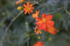 DSC02117 (Zengame) Tags: hamarikyu hamarikyugardens rx rx1 rx1r rx1rm2 rx1rmark2 sony zeiss cc cosmos creativecommons flower japan tokyo           jp