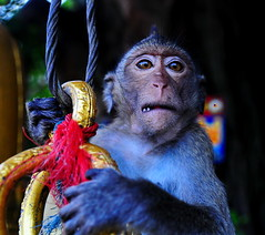 ,, Aliens ,, (Jon in Thailand) Tags: wildlife jungle nikon d300 nikkor 175528 animal monkey primate red blue gold orange bell cave eyes wildlifephotography asia goldenbell green teeth junglejournalism scary