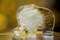 Iceaphant (kristin.mockenhaupt) Tags: elefant elephant ice icecube eis eiswrfel rssel trunk dickhuter sommer summer icecold eiskalt