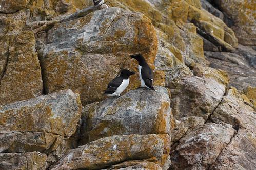 Pingouins torda (Alca torda)