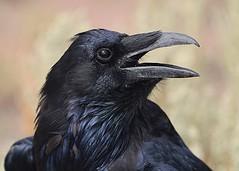 Common Raven, head portrait (birding4ever) Tags: 5 commonraven corvuscorax