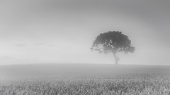 Summer Tree (Tom_Drysdale) Tags: wheat sunrise mist leaf 2016 fujifilm light summer tree single august fuji farming side lone farm field